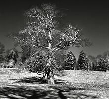 Infra red Oak  by larry flewers
