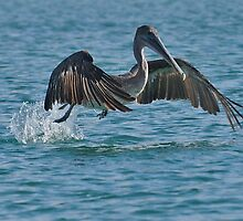 Taking Off - Pelican- Galapagos Islands - 2011 - Titus Nelson by Silverview
