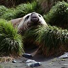 Southern Elephant Seal in the Tussock Grass, Macquarie Island  by Carole-Anne