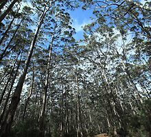 Karris #2, Boranup Forest by Elaine Teague