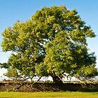 Ancient Ash Tree by Mark Zytynski