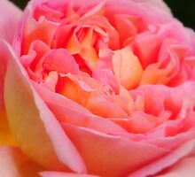 Pink Rose at Ness Gardens uk. by PhillipJones