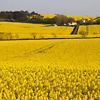 Yellow Fields of oilseed rape by Nik Taylor