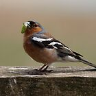 Male Chaffinch by Nik Taylor