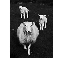 to dream of sheep - three of a kind  Photographic Print