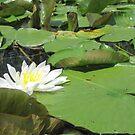 Green Lillies by Thomas Murphy