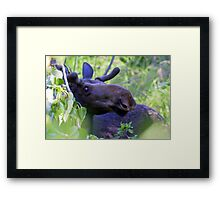 Young bull moose in the woods Framed Print