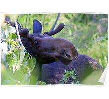 Young bull moose in the woods Poster