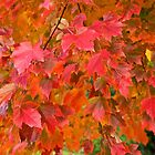Red autumn leaves by Janette Anderson
