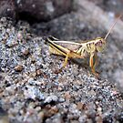 Grasshopper on a Rock by Amy Huxtable