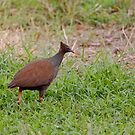 Bush Chook by Hedoff