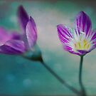 Spring Beauty by Megan Noble