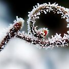 Frosted Corkscrew Hazel by Astrid Ewing Photography