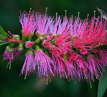 Callistemon  Pink Alma by andrachne