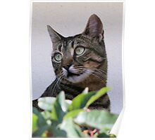 Tabby Cat Sitting In The Shade Behind Passiflora Vine Poster