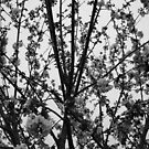 Cherry Blossom Branches by CherylBee