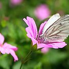 Green-veined White - Pieris napi by Lepidoptera