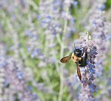 Bee in Lavender by Yvonne Roberts