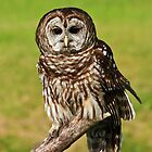 Ruffled Owl by fotogirl85