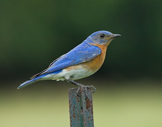Eastern Bluebird on fence post by Wayne Wood