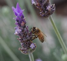 Bee on the Lavender by Linda Fury