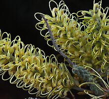 Grevillea Moonlight by andrachne