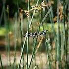 Dragonfly at the pond's cousin by Becky Trudell