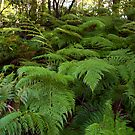 Ferns galore by Malcolm Katon