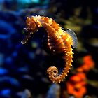 Sea Horse 2 by redscorpion