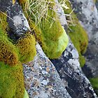 Moss &amp; Lichen, Falls Creek, Victoria by Jane McDougall