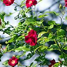 Grandma's roses, red & reminiscent of years past by Tammy Devoll