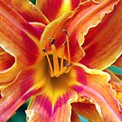 Orange Lily bloom by Tammy Devoll