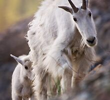 Mountain Goats 1 by Miles Glynn