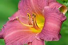 Lily by William Brennan