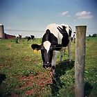 Cow in the field  by jamiecwagner