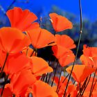 California Poppies by Inga McCullough