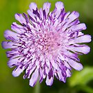 Pink scabious by Sandra O'Connor
