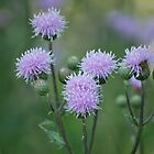 Canada Thistle by deb cole