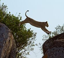 Leaping Lion by Michael Kilpatrick