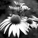 Monotone Cone Flowers with Smear!! by Glenn Cecero