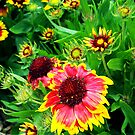 Blanket Flower by Rewards4life
