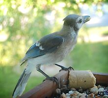 Young Bluejay by G. David Chafin