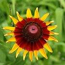 Sunshine Flower. (Gloriosa daisy) by Lee d'Entremont