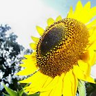 Gleaming Sunflower by Shaun  Gabrielli