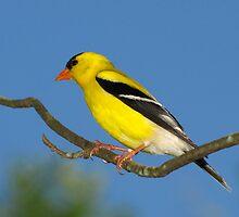 Bright Golden Sun (American Goldfinch) by Robert Miesner