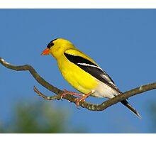 Bright Golden Sun (American Goldfinch) Photographic Print