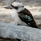 Kookaburra by Jessica Fittock