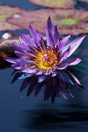 Purple Water Lily by Robert Armendariz