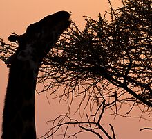 Sunrise Giraffe by Michael Kilpatrick