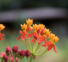 Butterfly Weed by Cynthia Broomfield